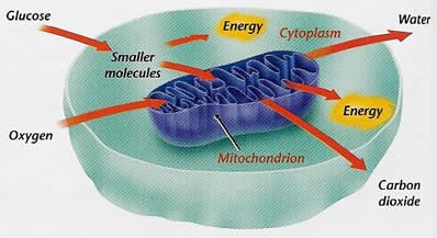 mitochondrial dysfunction and parkinsons
